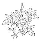 Vector branch with outline Rosehip or Dog rose, medicinal herb. Bunch with hips and leaves isolated on white background. Royalty Free Stock Photography