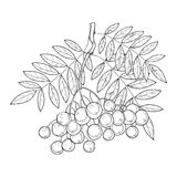 Vector branch with outline Rowan or Rowanberry, leaves and berry isolated on white. Illustration with autumn berry. Stock Photo