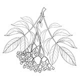 Vector branch with outline Sambucus nigra or black elder or elderberry, bunch, berry and leaves isolated on white background. stock illustration