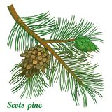 Vector branch of outline Scots pine or Pinus sylvestris tree. Bunch, pine and cones isolated on white background. Coniferous tree. In contour style for Stock Images