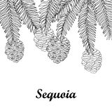 Vector branch with outline Sequoia or California redwood isolated on white background. Bunch of conifer tree with pine and cones. Royalty Free Stock Photo