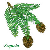 Vector branch with outline Sequoia or California redwood isolated on white background. Coniferous tree branch with pine and cones. Stock Images