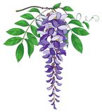 Vector branch of outline Wisteria or Wistaria flower bunch in pastel purple, bud and green leaf isolated on white background. Blossoming ornamental plant Stock Photography