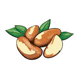 Vector brazil nuts Royalty Free Stock Photography