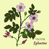 Vector briar (brier) card. Vector illustration with eglantine roses. Vector briar (brier) card for your design Royalty Free Stock Photo