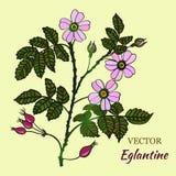 Vector briar (brier) card Royalty Free Stock Photo