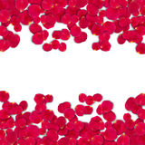 Vector bright roses petals. Lie. A lot of pink petals on white background. Nature view from above Stock Image