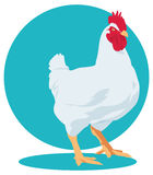 Vector broiler chicken. Cock. Royalty Free Stock Photography