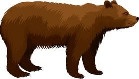 Vector brown grizzly bear isolated on white. Illustartion royalty free illustration