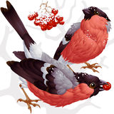 Vector bullfinch and ashberry. Two vector bullfinch and ashberry Stock Photo