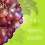 Red grapes bunch with dew drops. Vector bunch of the fresh red grapes with the green leaves and the dew droplets on a green background with glow flare, grape Royalty Free Stock Photo
