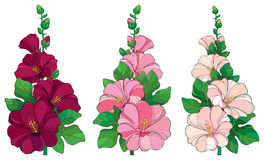 Vector bunch with outline Alcea rosea or Hollyhock flower in pink and white, bud and green leaf  on white background. Royalty Free Stock Image