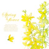 Vector bunch with outline Forsythia flower, branch, leaves in pastel yellow isolated on white. Corner composition of Forsythia. vector illustration