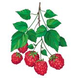 Vector bunch with outline Raspberry or Rubus with red berry and green leaves isolated on white background. Drawing of raspberry. Royalty Free Stock Photos