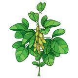Vector bunch with outline Soybean or Soy bean plant with ripe pods and ornate green leaf isolated on white background. vector illustration