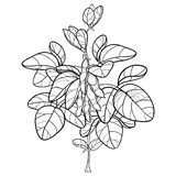 Vector bunch with outline Soybean or Soy bean with pods and ornate leaf in black isolated on white background. Legume plant bush. royalty free illustration