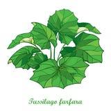 Vector Busch mit Entwurf Tussilago farfara oder Coltsfoot oder foalfoot mit den aufwändigen Grünblättern, die auf weißem Hintergr stock abbildung