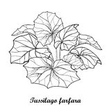 Vector bush with outline Tussilago farfara or coltsfoot or foalfoot with ornate leaves in black isolated on white background. Contour medicinal plant coltsfoot vector illustration