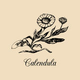 Vector calendula illustration with flowers. Hand drawn botanical sketch of marigold.Medicinal,officinalis plant drawing. Royalty Free Stock Photo