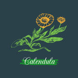 Vector calendula illustration with flowers. Hand drawn botanical sketch of marigold.Medicinal,officinalis plant drawing. Royalty Free Stock Photos