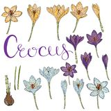 Vector card with crocuses. Vector isolated crocus on white. Different color, elements for floral spring season design royalty free illustration