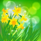 Vector card with daffodils on light green bokeh Stock Photo