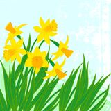 Vector card with daffodils on textured background. Stock Photography