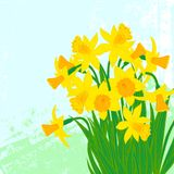 Vector card with daffodils on textured background. Stock Image