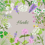 Vector card with herbal flowers. Salvia, angelica, oregano, rosemary, savory, verbena anise fennel coltsfoot marjoram flowers Vector illustration Stock Photos
