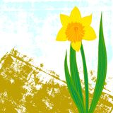 Vector card with one single daffodil Stock Photos