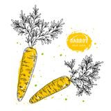 Vector carrot hand drawn illustration in the style of engraving. Detailed vegetarian food drawing. Farm market product. Grunge illustration for create the menu Stock Photography
