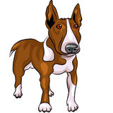 Vector Cartoon Bull Terrier Dog breed. Color sketch of a Bull Terrier Dog isolated on the white background Stock Photos