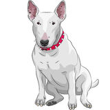 Vector Cartoon Bull Terrier Dog breed sittong. Color sketch of a white Bull Terrier Dog sitting isolated on the white background Royalty Free Stock Images