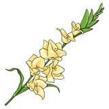 Vector Cartoon  Illustration - Yellow Gladiuolus Stock Photos