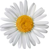 Vector chamomile flower isolated Stock Image