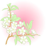 Vector cherry blossom. Vector illustration with cherry blossom for greeting card Royalty Free Stock Photos