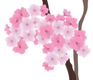 Vector Cherry Blossom Royalty Free Stock Photography