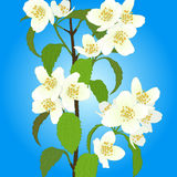 Vector cherry blossom. Royalty Free Stock Photography