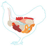 Vector chicken anatomy. digestive system. Vector chicken anatomy. digestive system of the chicken. inside view Royalty Free Stock Photos