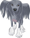 Vector Chinese Crested Dog. Stock Photo