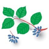 Vector chokeberry illustratie, Stock Afbeeldingen