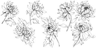 Free Vector Chrysanthemum Floral Botanical Flowers. Black And White Engraved Ink Art. Isolated Flower Illustration Element. Royalty Free Stock Image - 144656036