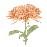 Vector chrysanthemum flower. Vector chrysanthemum flower in vintage engraving style (colored Royalty Free Stock Photo
