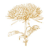Vector chrysanthemum flower. Vector chrysanthemum flower in vintage engraving style Royalty Free Stock Images