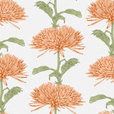 Vector chrysanthemum flower. Royalty Free Stock Image