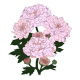 Vector chrysanthemum flower. Vector chrysanthemum flower in vintage engraving style Stock Photography