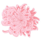 Vector chrysanthemum flower. Stock Image