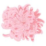 Vector chrysanthemum flower. Vector pink chrysanthemum flower in vintage style Stock Image