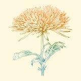 Vector chrysanthemum flower. Vector chrysanthemum flower in vintage engraving style Stock Images