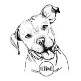 Vector close up portrait of english pitbull. Hand drawn domestic pet dog illustration. Isolated on white background. Stock Image
